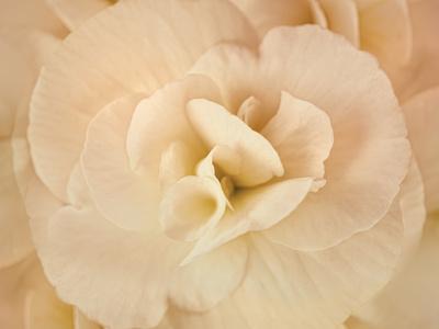 https://imgc.artprintimages.com/img/print/amber-begonia-flower_u-l-q12tv4k0.jpg?p=0