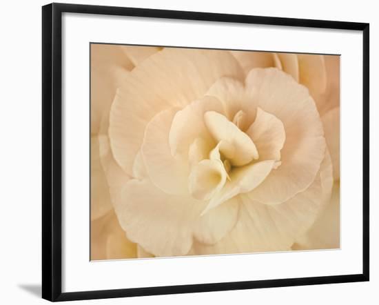 Amber Begonia Flower-Cora Niele-Framed Photographic Print