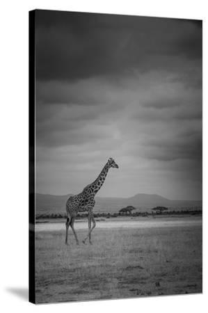 Amboseli Park,Kenya,Italy a Giraffe Shot in the Park Amboseli, Kenya, Shortly before a Thunderstorm-ClickAlps-Stretched Canvas Print