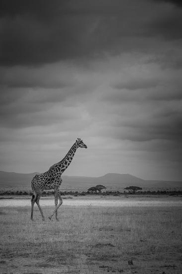 Amboseli Park,Kenya,Italy a Giraffe Shot in the Park Amboseli, Kenya, Shortly before a Thunderstorm-ClickAlps-Photographic Print