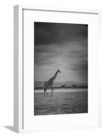 Amboseli Park,Kenya,Italy a Giraffe Shot in the Park Amboseli, Kenya, Shortly before a Thunderstorm-ClickAlps-Framed Photographic Print