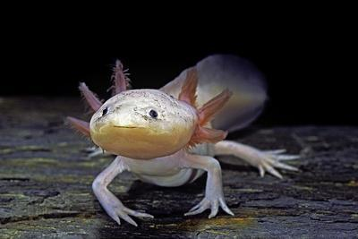 Ambystoma Mexicanum F  Leucistic (Axolotl) Photographic Print by Paul  Starosta | Art com