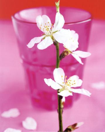 Almond Tree Flower by Amelie Vuillon