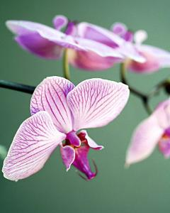 Pink Orchid by Amelie Vuillon