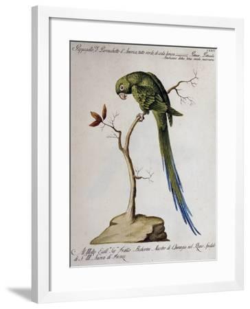 America Parrot or Parakeet--Framed Giclee Print