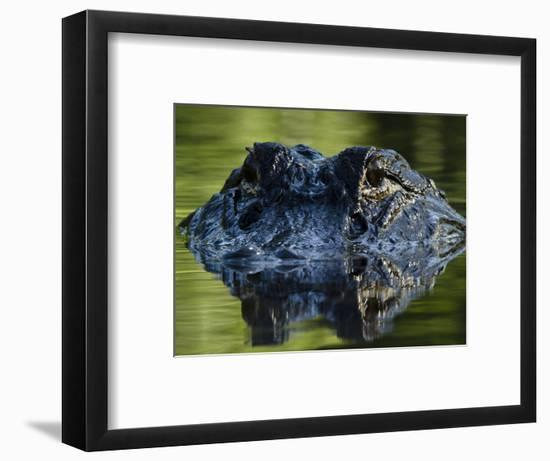 American Alligator (Alligator Mississippiensis), Okefenokee National Wildlife Refuge, Florida, Usa-Pete Oxford-Framed Photographic Print