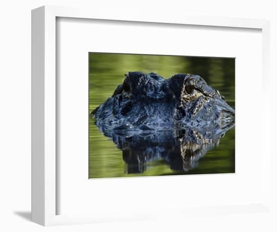American Alligator (Alligator Mississippiensis), Okefenokee National Wildlife Refuge, Florida, Usa-Pete Oxford-Framed Photographic Print