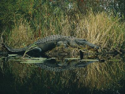 American Alligator Basking Near the Water-Farrell Grehan-Photographic Print
