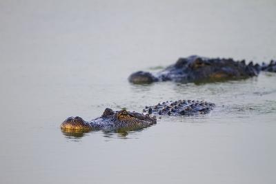 American Alligator Breeding Adults-Larry Ditto-Photographic Print