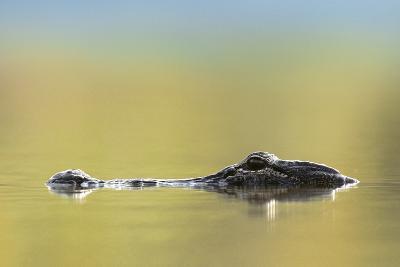 American Alligator, Florida, Usa-Tim Fitzharris-Photographic Print