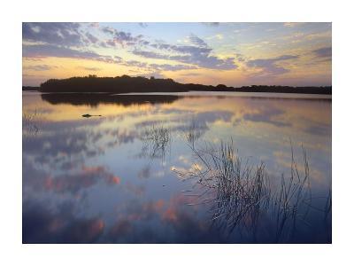 American Alligator in Paurotis Pond, Everglades National Park, Florida-Tim Fitzharris-Art Print