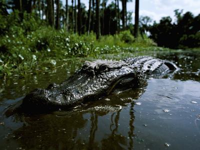 American Alligator in Swamp-Jeff Foott-Photographic Print