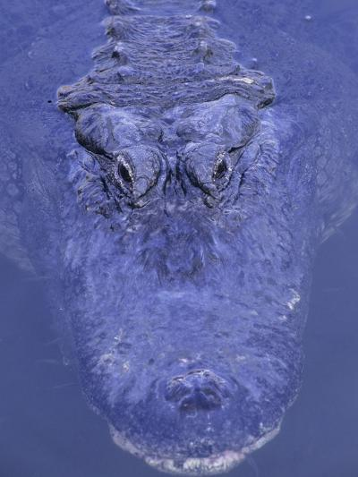 American Alligator in Water-Daniel Cox-Photographic Print