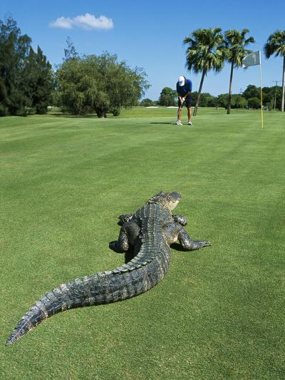 American Alligator on Golf Course--Photographic Print