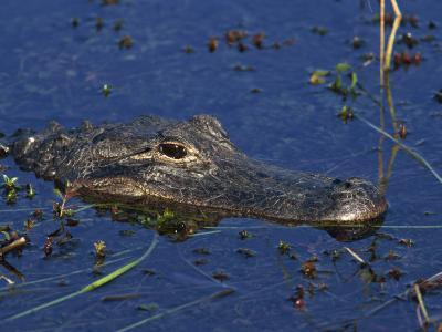 American Alligator, South Florida, United States of America, North America-Rainford Roy-Photographic Print