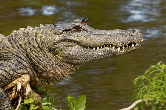American alligator sunning with butterfly on head, Alligator mississippiensis, Gatorland, Orlando, -Adam Jones-Photographic Print