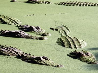 American Alligators, Everglades National Park, Florida-Mark Newman-Photographic Print