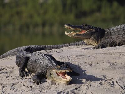 American Alligators in a Breeding Pond-Raymond Gehman-Photographic Print
