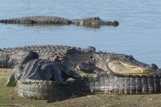 American Alligators Sunning, Myakka River, Myakka River Sp, Florida-Maresa Pryor-Photographic Print