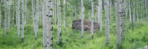 American Aspen Trees in the Forest, White River National Forest, Colorado, USA