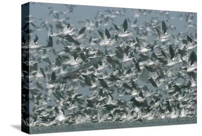 American Avocet flock erupting into flight, North America-Tim Fitzharris-Stretched Canvas Print