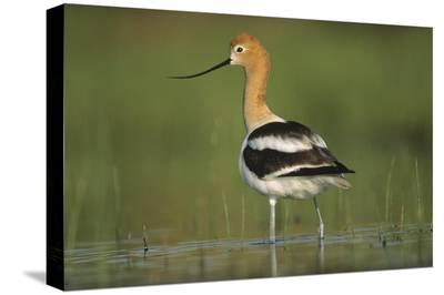 American Avocet in breeding plumage wading though shallow water, North America-Tim Fitzharris-Stretched Canvas Print