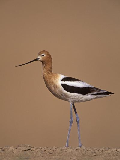 American Avocet Showing its Long Legs and Bill, Recurvirostra Americasna, USA-Arthur Morris-Photographic Print