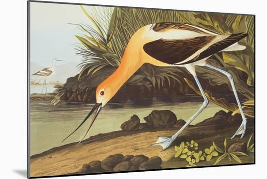 American Avocet-John James Audubon-Mounted Premium Giclee Print