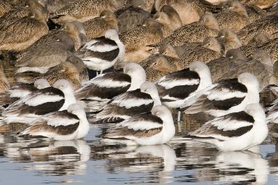 American Avocts,Marbled Godwits and Willets Sleeping-Hal Beral-Photographic Print