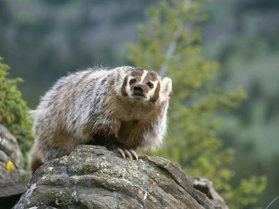 American Badger on Rock-Norbert Rosing-Photographic Print