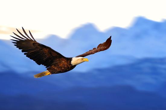 american-bald-eagle-alaska