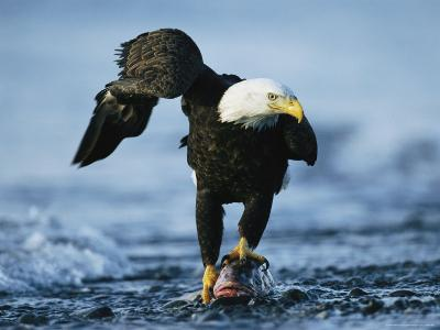 American Bald Eagle Clasps a Fish in its Talons-Klaus Nigge-Photographic Print