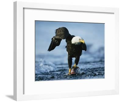 American Bald Eagle Clasps a Fish in its Talons-Klaus Nigge-Framed Photographic Print