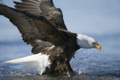 American Bald Eagle Fishing--Photographic Print