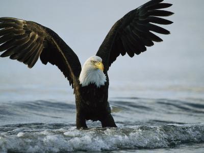 American Bald Eagle Grasps its Prey Below the Water-Klaus Nigge-Photographic Print