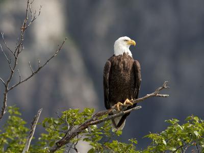 American Bald Eagle, Haliaeetus Leucocephalus, Perched on a Limb-Roy Toft-Photographic Print