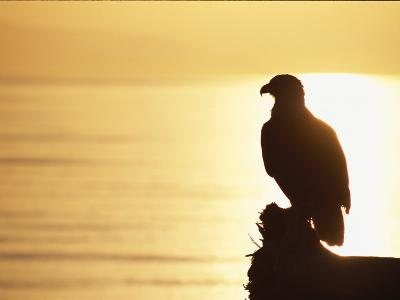 American Bald Eagle, Haliaeetus Leucocephalus, Silhouette at Sunset-Roy Toft-Photographic Print