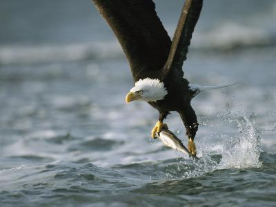 American Bald Eagle in Flight over Water with a Fish in its Talons-Klaus Nigge-Photographic Print