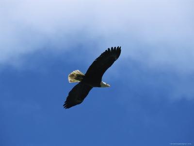 American Bald Eagle in Flight-Tom Murphy-Photographic Print
