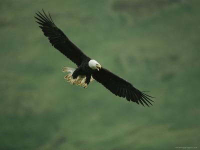 American Bald Eagle in Flight-Tom Murphy-Photographic Print