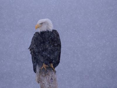 American Bald Eagle in Snow, Alaska-Lynn M^ Stone-Photographic Print