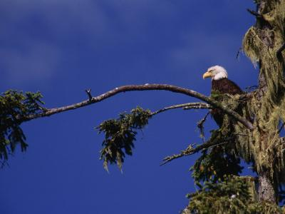 American Bald Eagle Perched in a Treetop, Vancouver Island, British Columbia, Canada-Paul Sutherland-Photographic Print