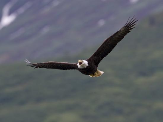 American Bald Eagle Soaring and Vocalizing-Roy Toft-Photographic Print