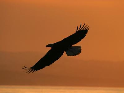 American Bald Eagle Soaring at Sunset (Haliaeetus Leucocephalus)-Roy Toft-Photographic Print