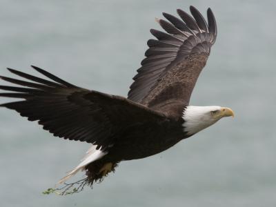 American Bald Eagle Soaring-Roy Toft-Photographic Print