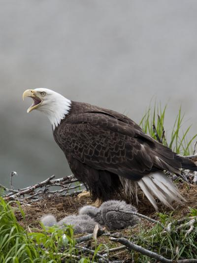 American Bald Eagle Vocalizing and Protecting it's Nest and Chicks-Roy Toft-Photographic Print