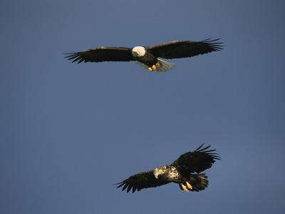American Bald Eagle with Juvenile in Flight-Tom Murphy-Photographic Print