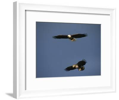 American Bald Eagle with Juvenile in Flight-Tom Murphy-Framed Photographic Print