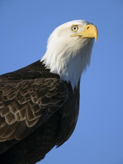 American Bald Eagle-Paul Souders-Photographic Print