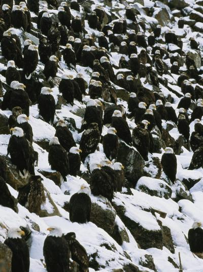 American Bald Eagles Gather on a Snow-Covered Breakwater-Klaus Nigge-Photographic Print